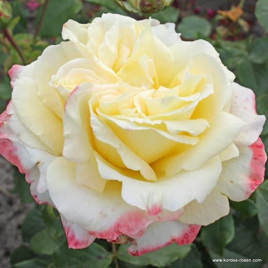 Athena® - Teahibrid rózsa