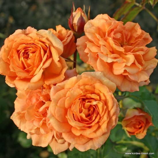 Bentheimer Gold® - Talajtakaró rózsa