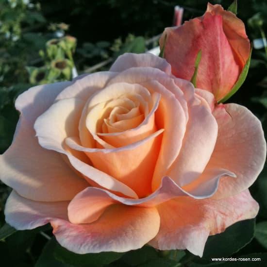 Oh Happy Day® - Teahibrid rózsa