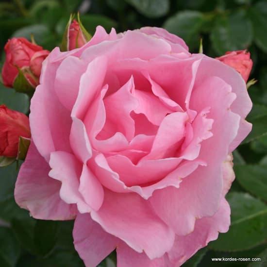 Poetry® - Floribunda rózsa