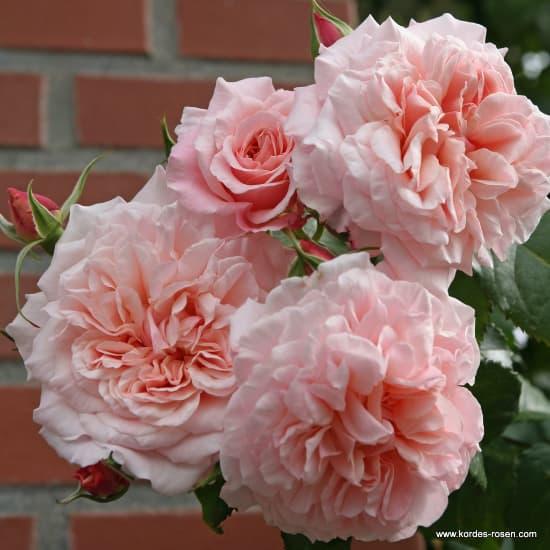 Rose de Tolbiac® - Futórózsa